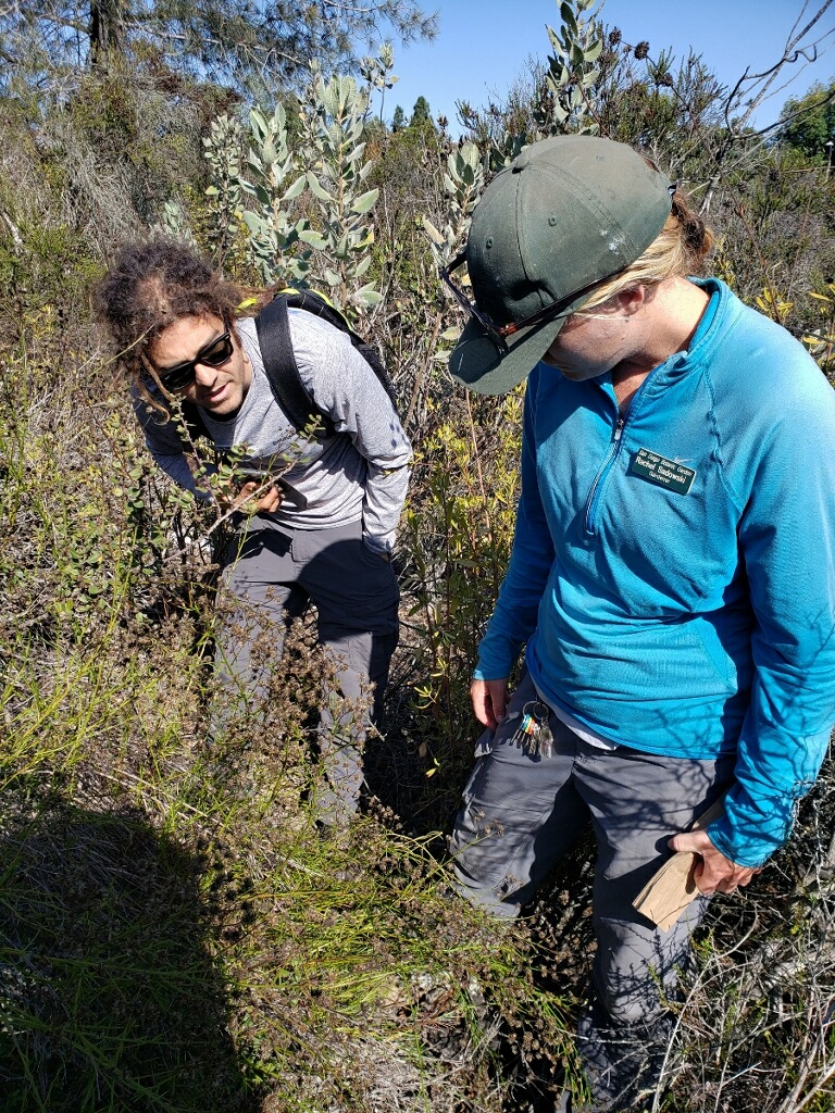 San Diego Botanic Garden staff assess Encinitas baccharis (Baccharis vanessae) seed to determine maturity. Credit: Jeremy Bugarchich
