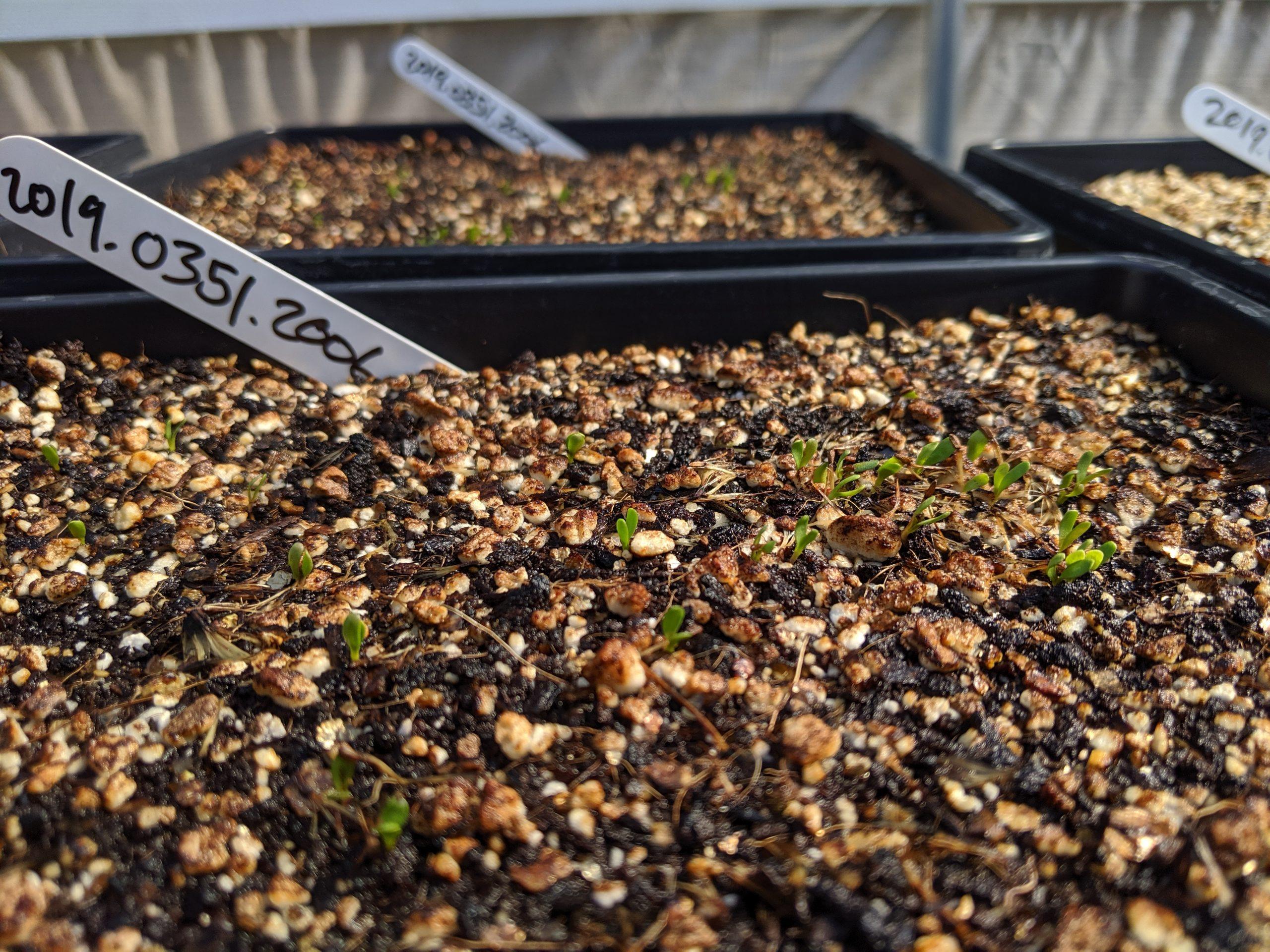 Image of Encinitas baccharis (Baccharis vanessae) seedlings germinating.