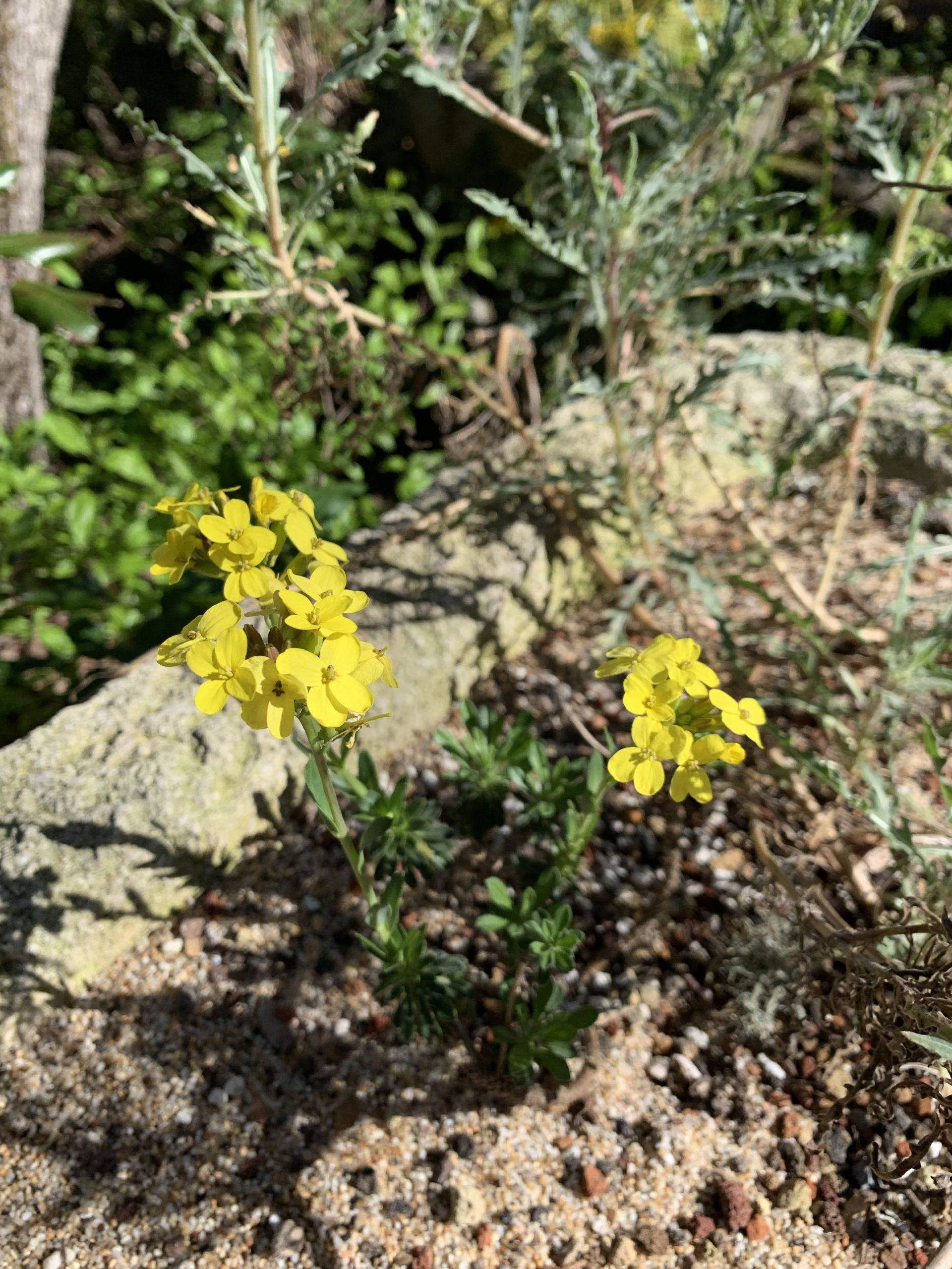 Image of Yadon's wallflower (Erysimum menziesii var. yadonii)