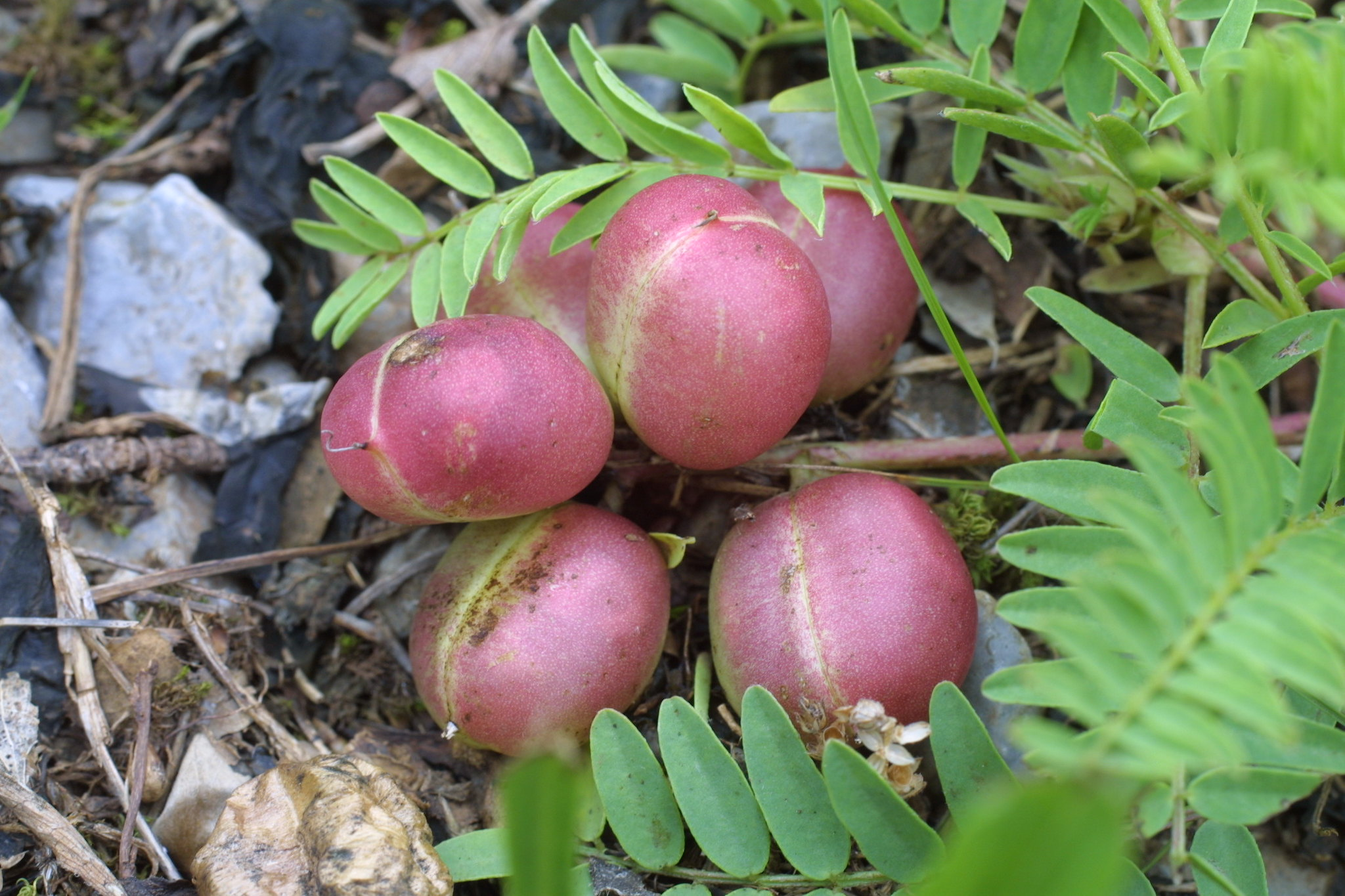 Image of Astragalus bibullatus fruit.