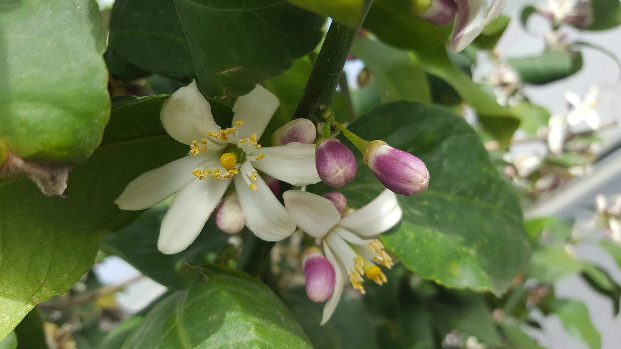 Image of citrus blossoms.