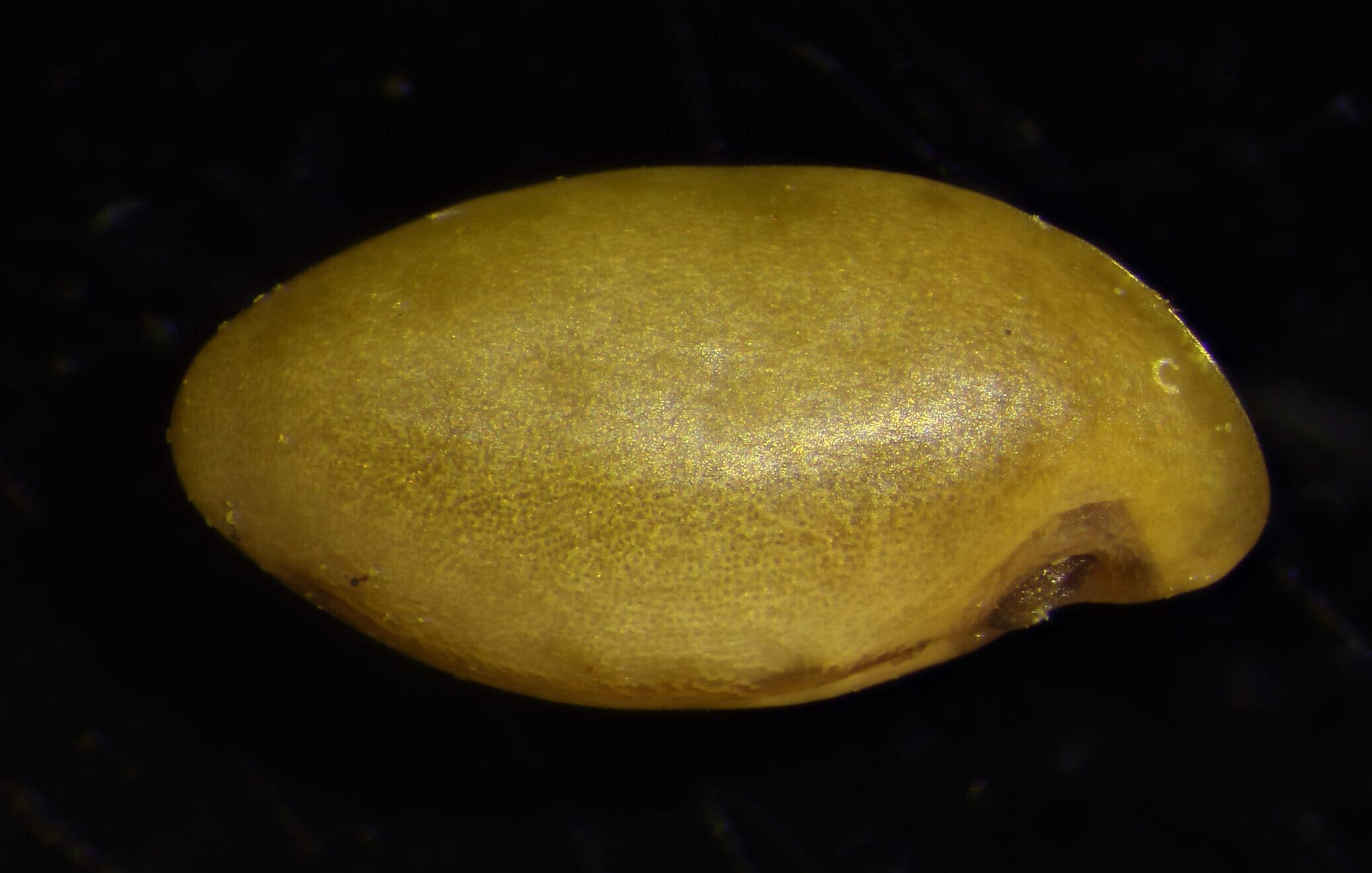 Image of Amorpha herbacea var. crenulata seed.