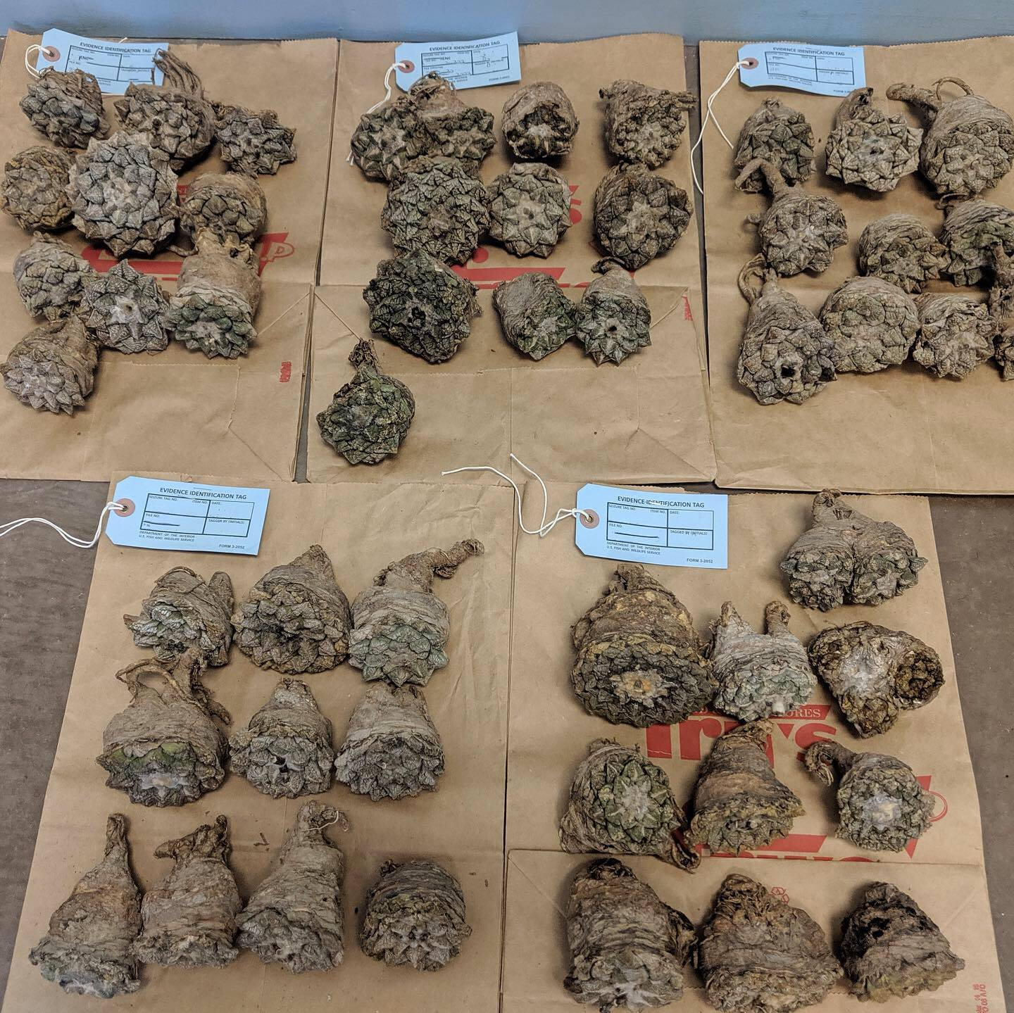 Image of living rock cacti (Ariocarpus fissuratus) confiscated by authorities.
