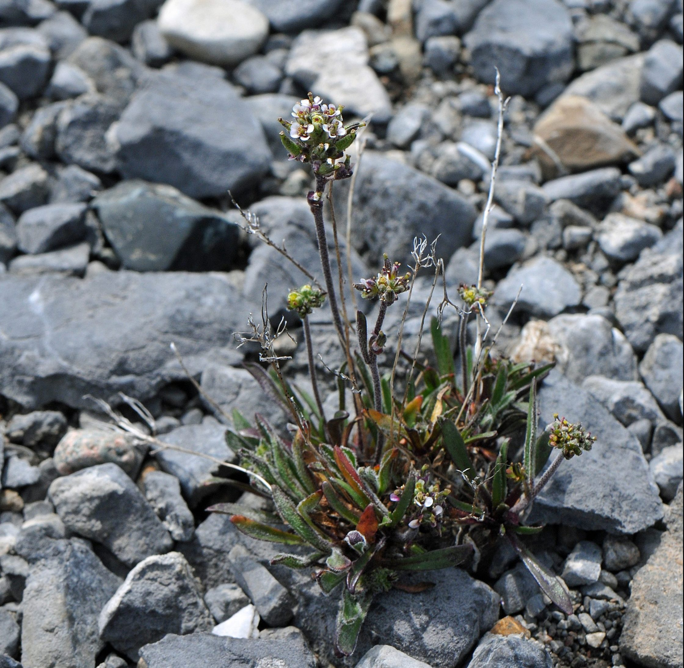 Image of Fernald's rockcress (Braya fernaldii).