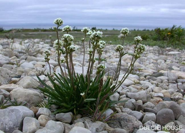 Image of Long's rockcress (Braya longii).