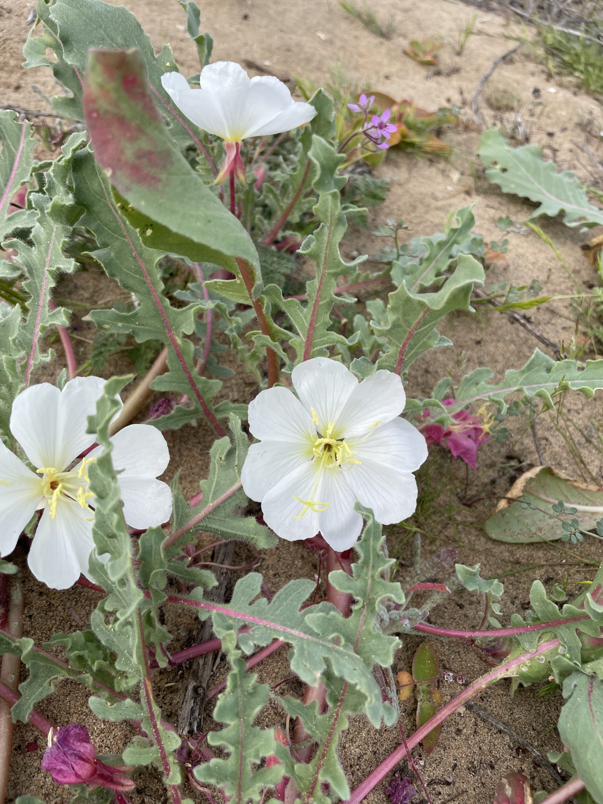 Image of Oenothera wigginsii, a narrow endemic found in Baja.