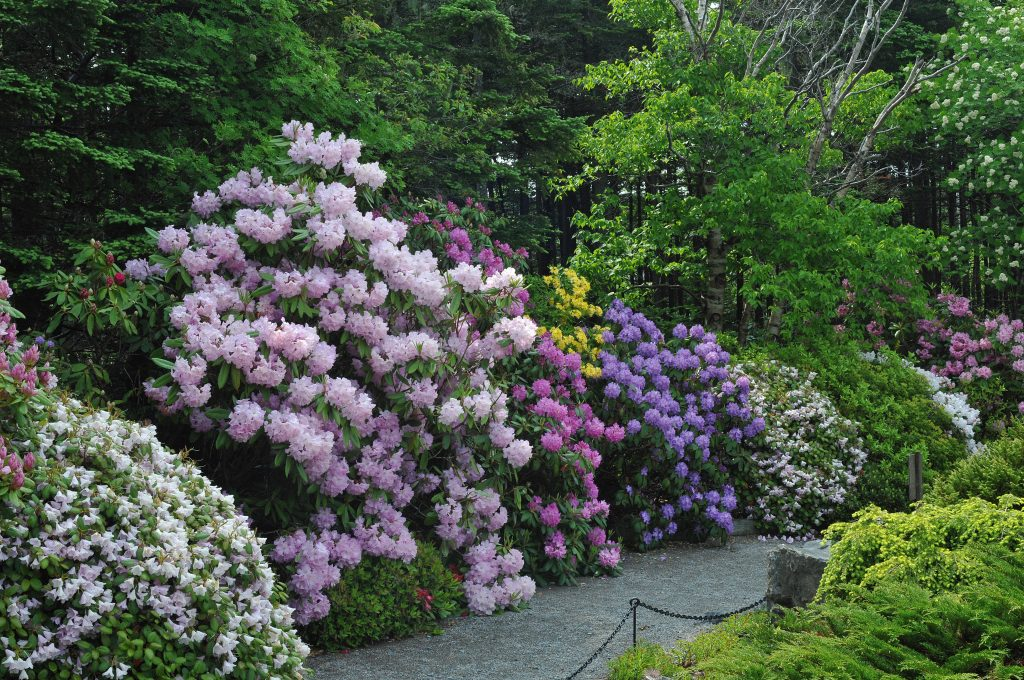 Image of rhododendron border at MUNGB.