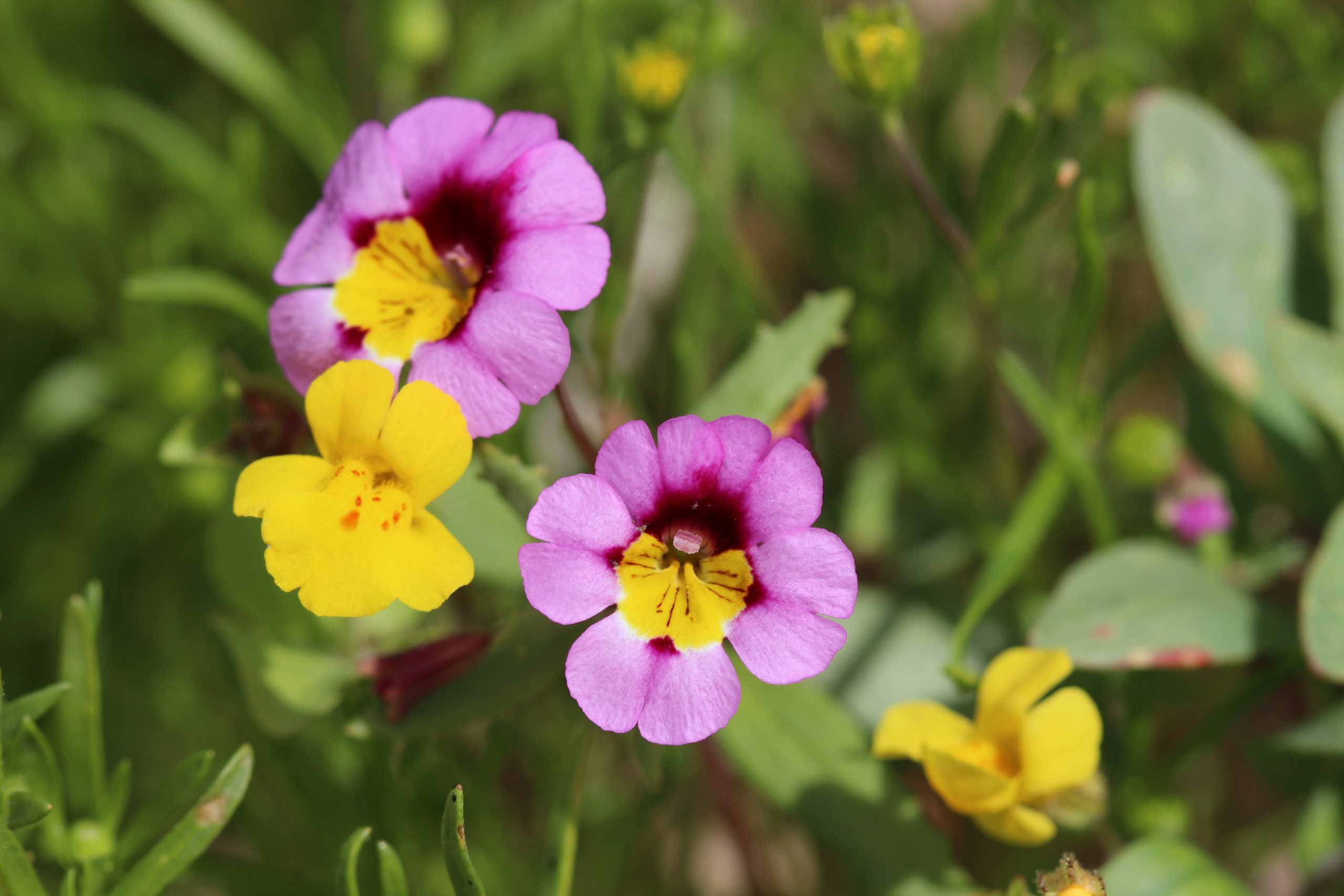 Image of Red Rock Canyon monkey flower (Erythranthe rhodopetra).