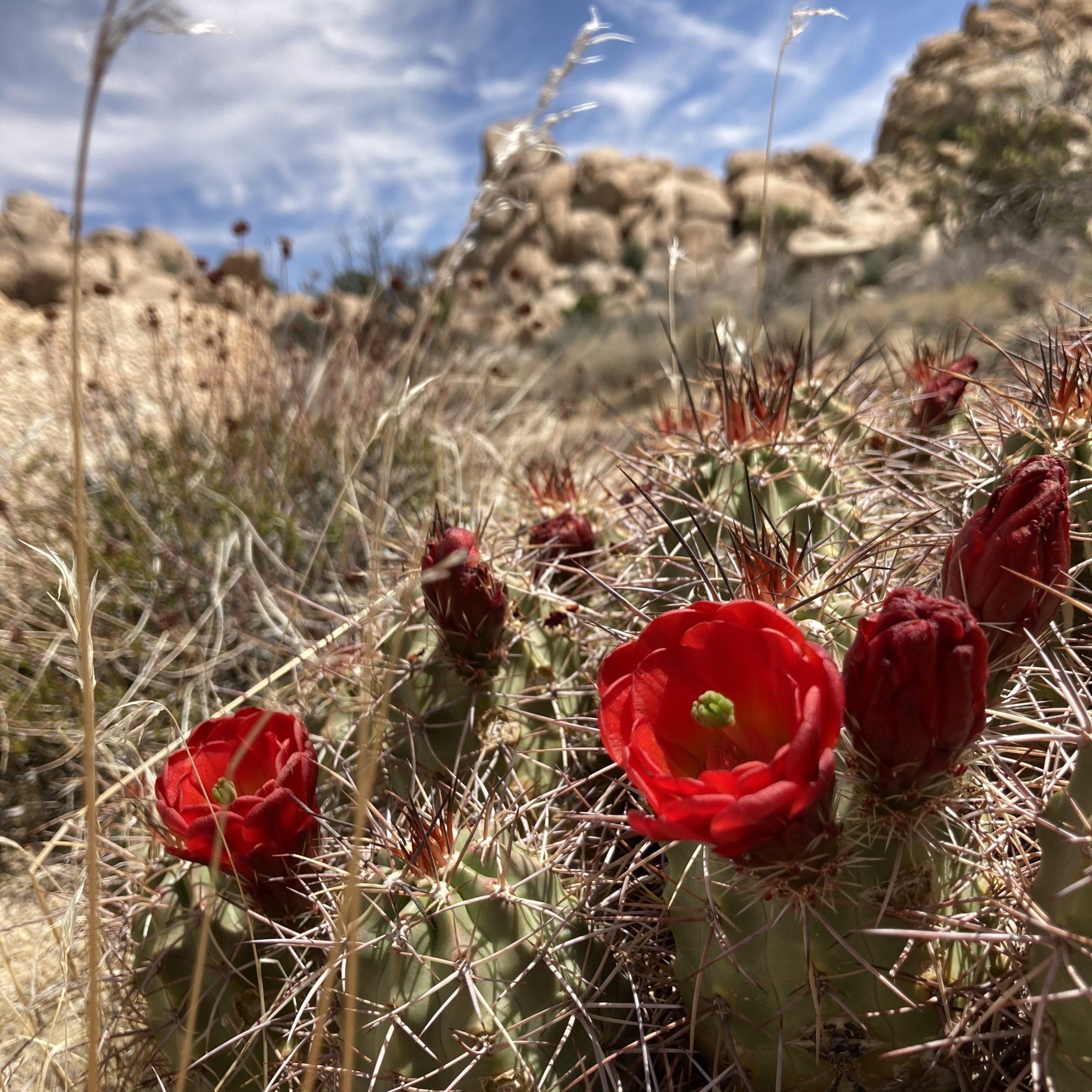 Image of Mojave Kingcup Cactus (Echinocereus triglochidiatus mojavensis) blooming at Joshua Tree National Park.
