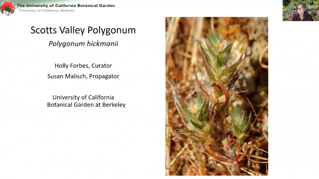 Screenshot from Seedbanking of Scotts Valley Polygonum video