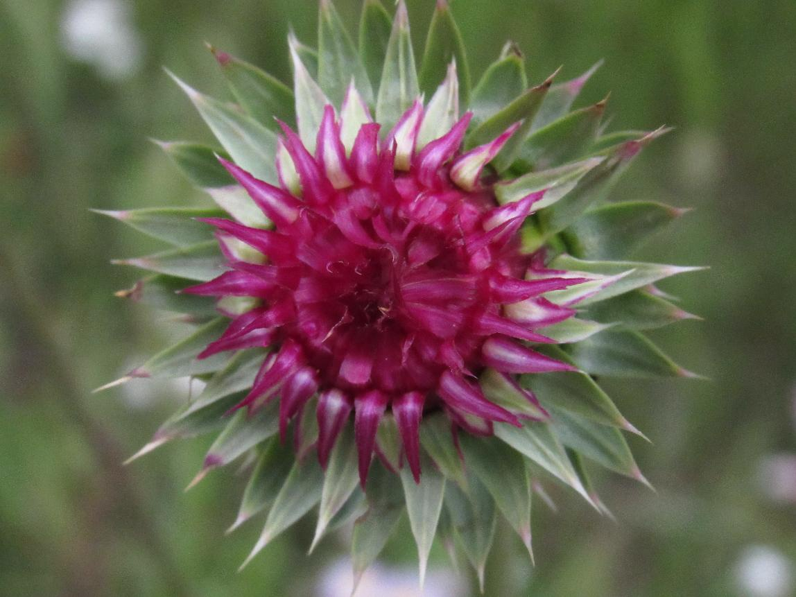 Image of a thistle