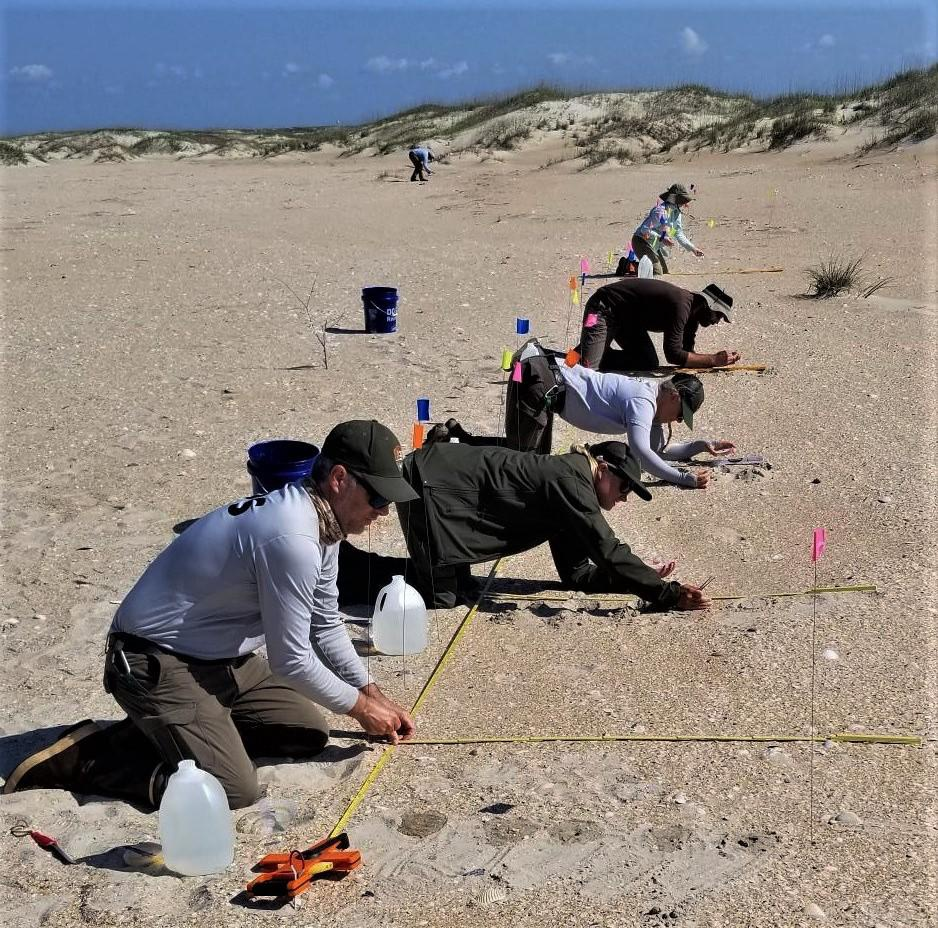 Image of Amaranthus pumilus (Seabeach Amaranth) planting with NC Botanical Garden and National Park Service. Photo by Johnny Randall.