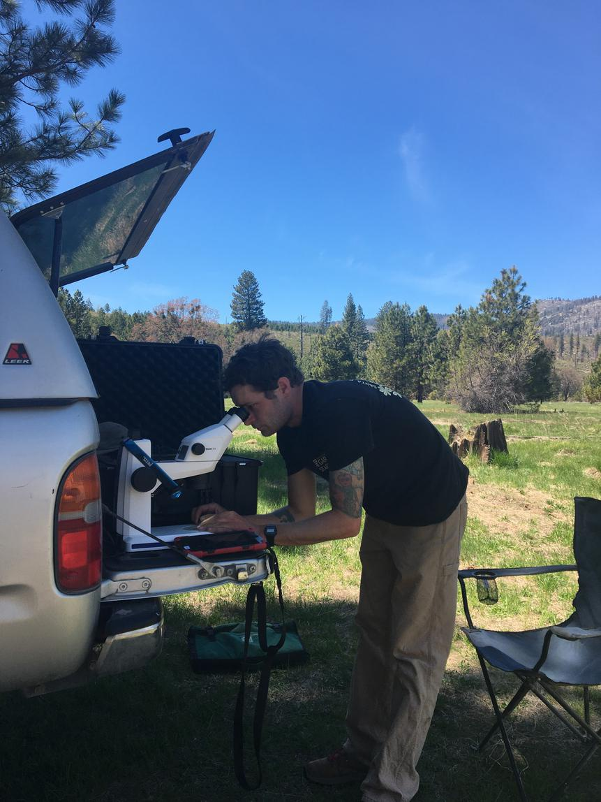 Image of Sean Carson in the field in action, looking at a Plagiobothrys sp. on the scope on the tailgate of a toyota, using pine needles to dissect plant. Photo by Kevin Mason.