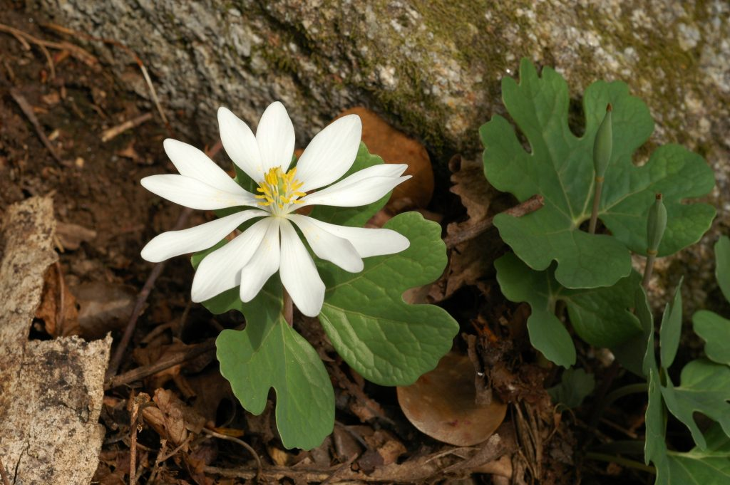 Image of Bloodroot (Sanguinaria canadensis), a member of the poppy family, is one of the earliest flowering spring ephemerals in the rich deciduous woods of the southeast.