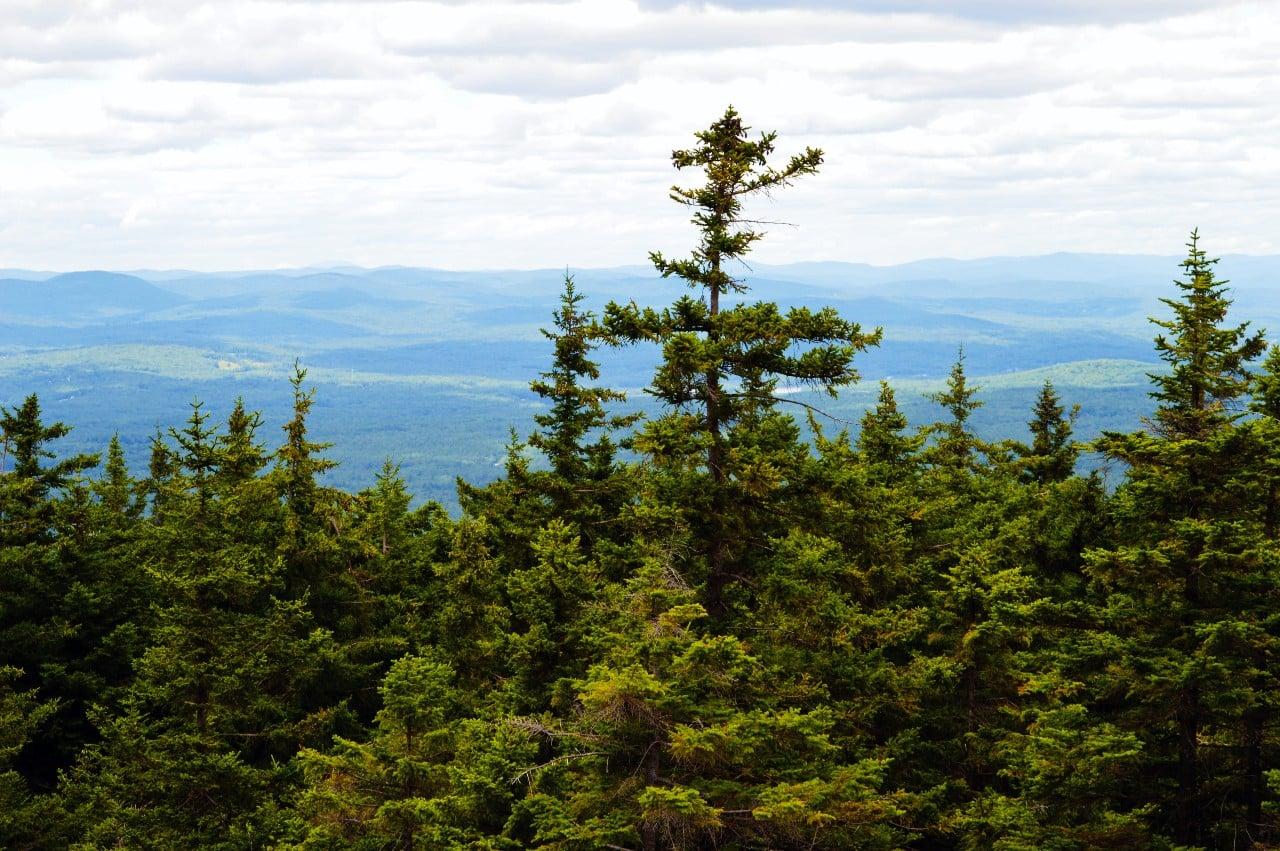 Image of Spruce-fir habitat, photo by Michael Piantedosi, courtesy of Native Plant Trust