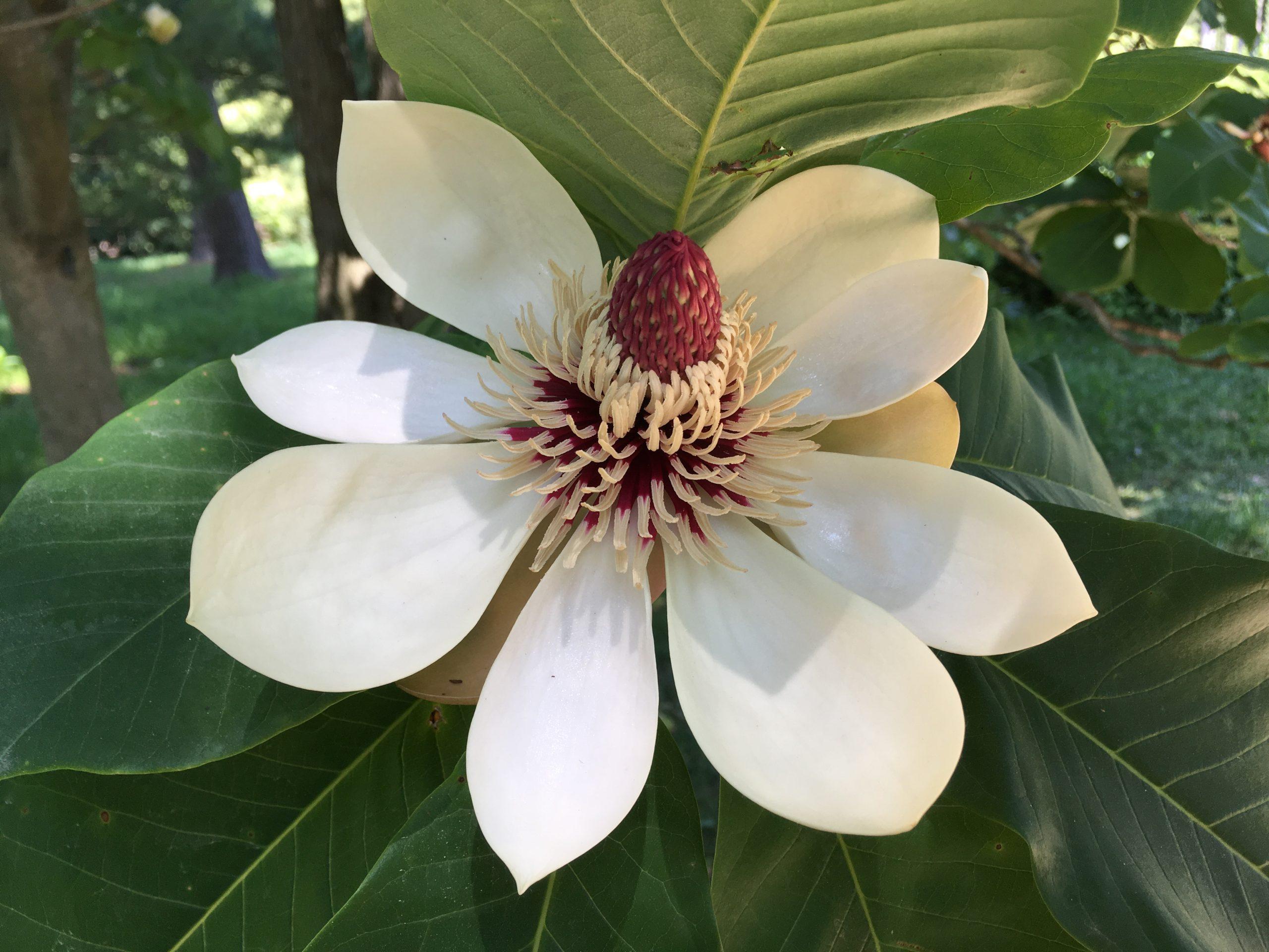Image of a magnolia blossom at The Morton Arboretum