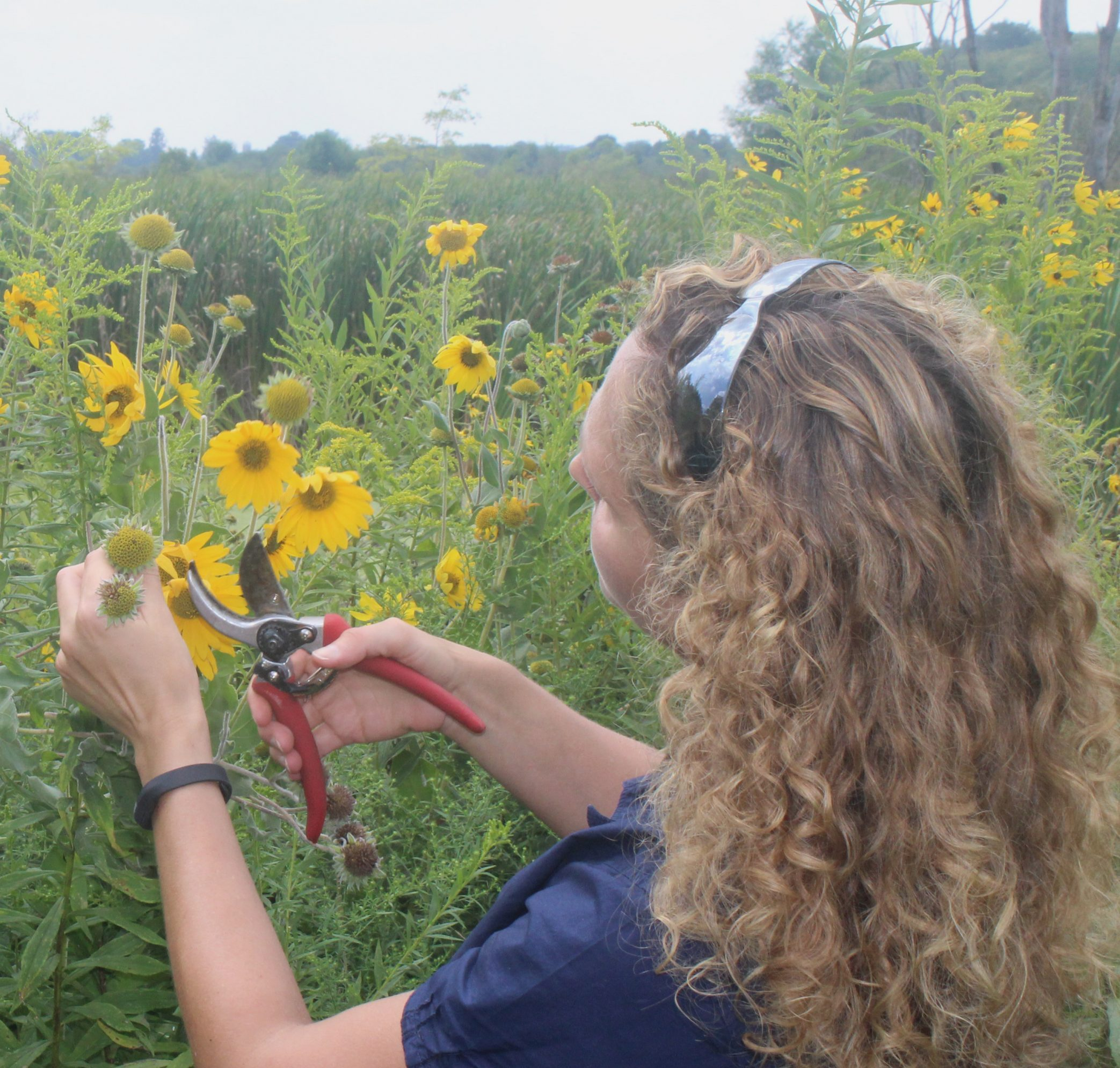 Shana Byrd collecting seed from an asteraceae, blonde curls are shown as she faces the seed heads of the sunflowers she is removing with clippers.