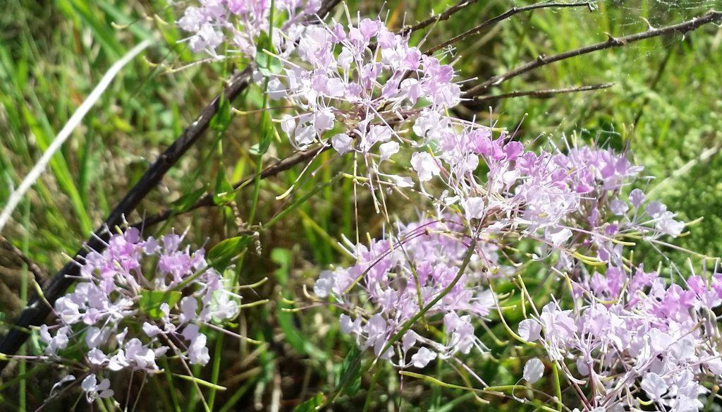 Image of Warea amplexifolia. Image courtesy of Florida Native Plant Society.