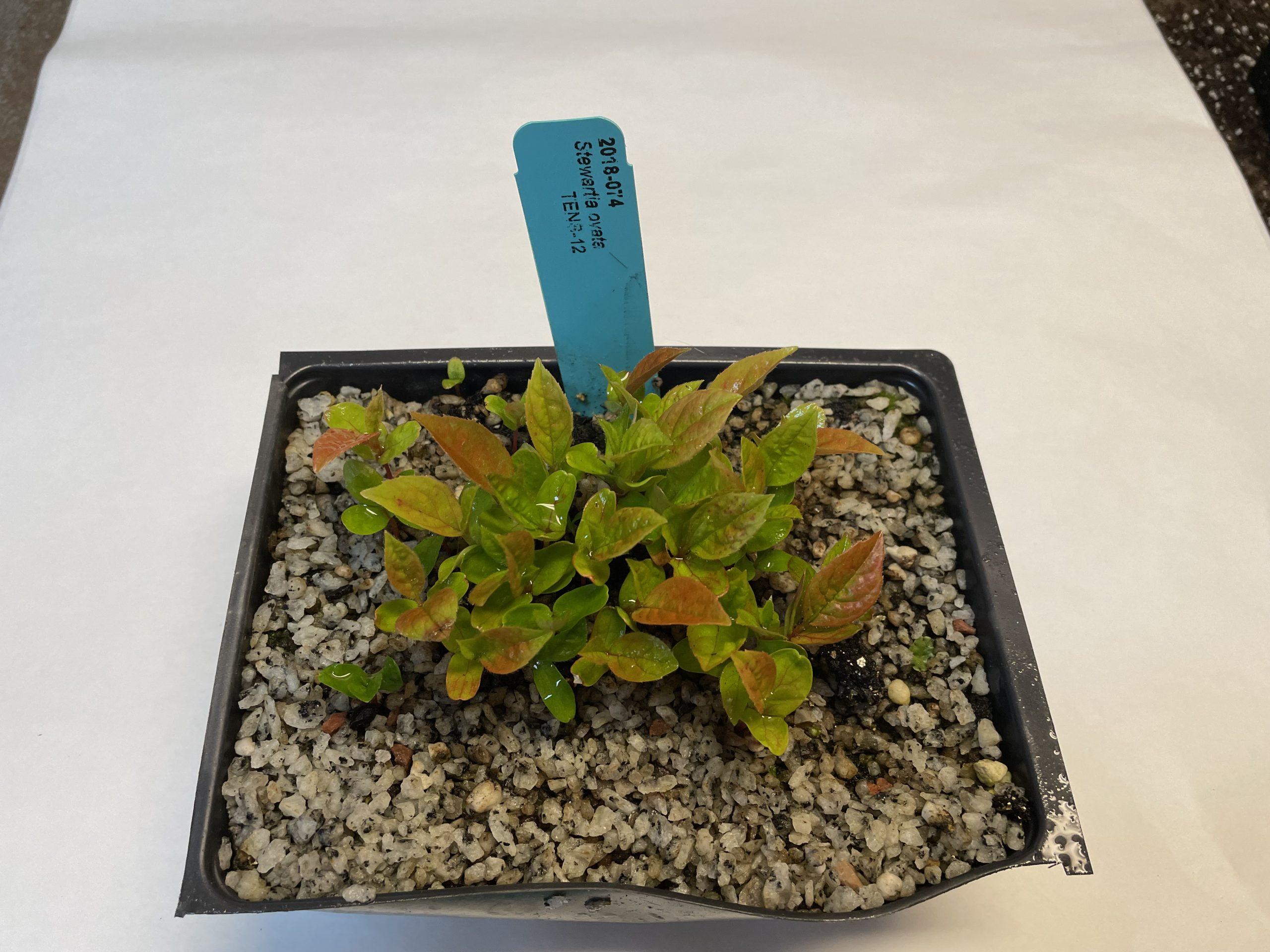 Image of mountain stewartia (Stewartia ovata) seedling.