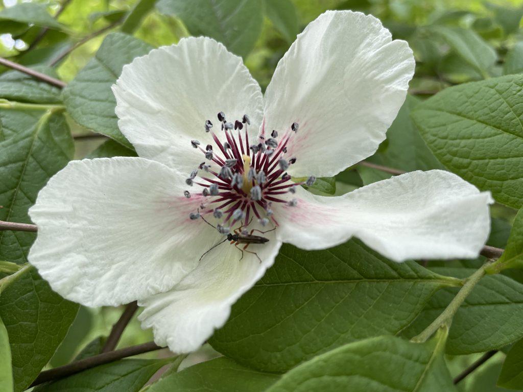 Image of silk stewartia (Stewartia malacodendron 'Delmarva'). Photo courtesy of Polly Hill Arboretum.