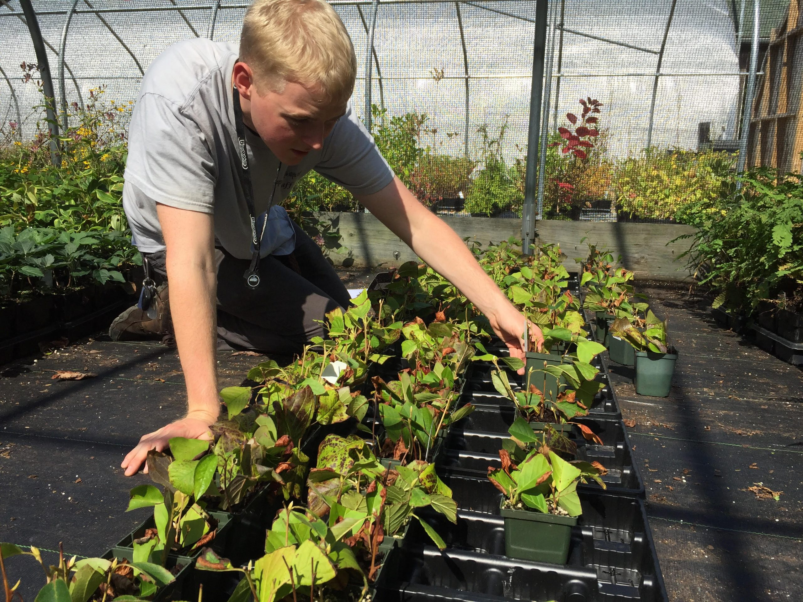 Image of PHA's Curatorial Intern Thomas Murphy (2017) working on a Stewartia dormancy project. Early on in PHA's efforts, overwintering proved challenging, but they have made large strides since Thomas' internship.