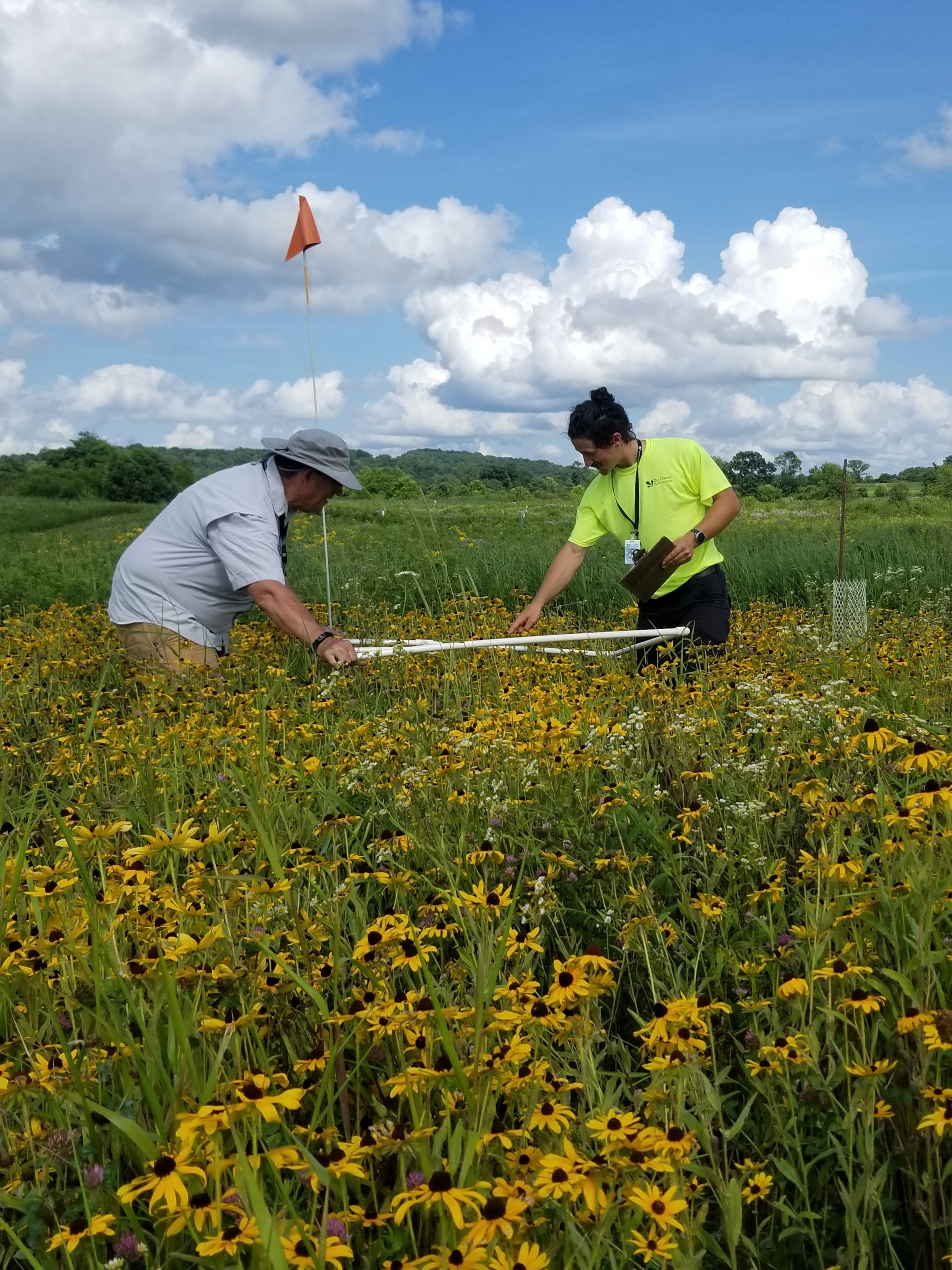 Two staff members lay a square quadrat frame across a field of wildflowers.