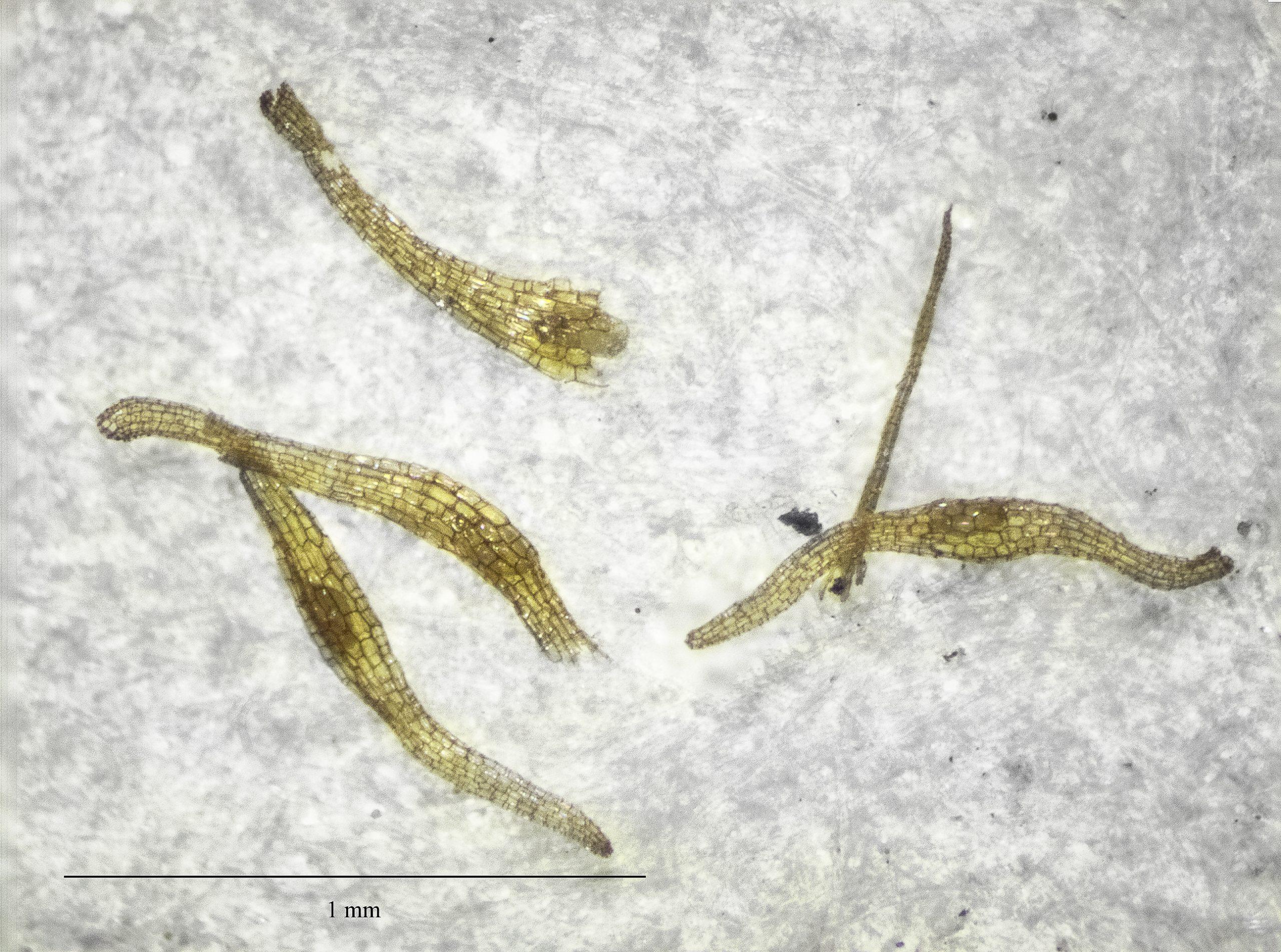 Photo of Honohono seed under a microscope.