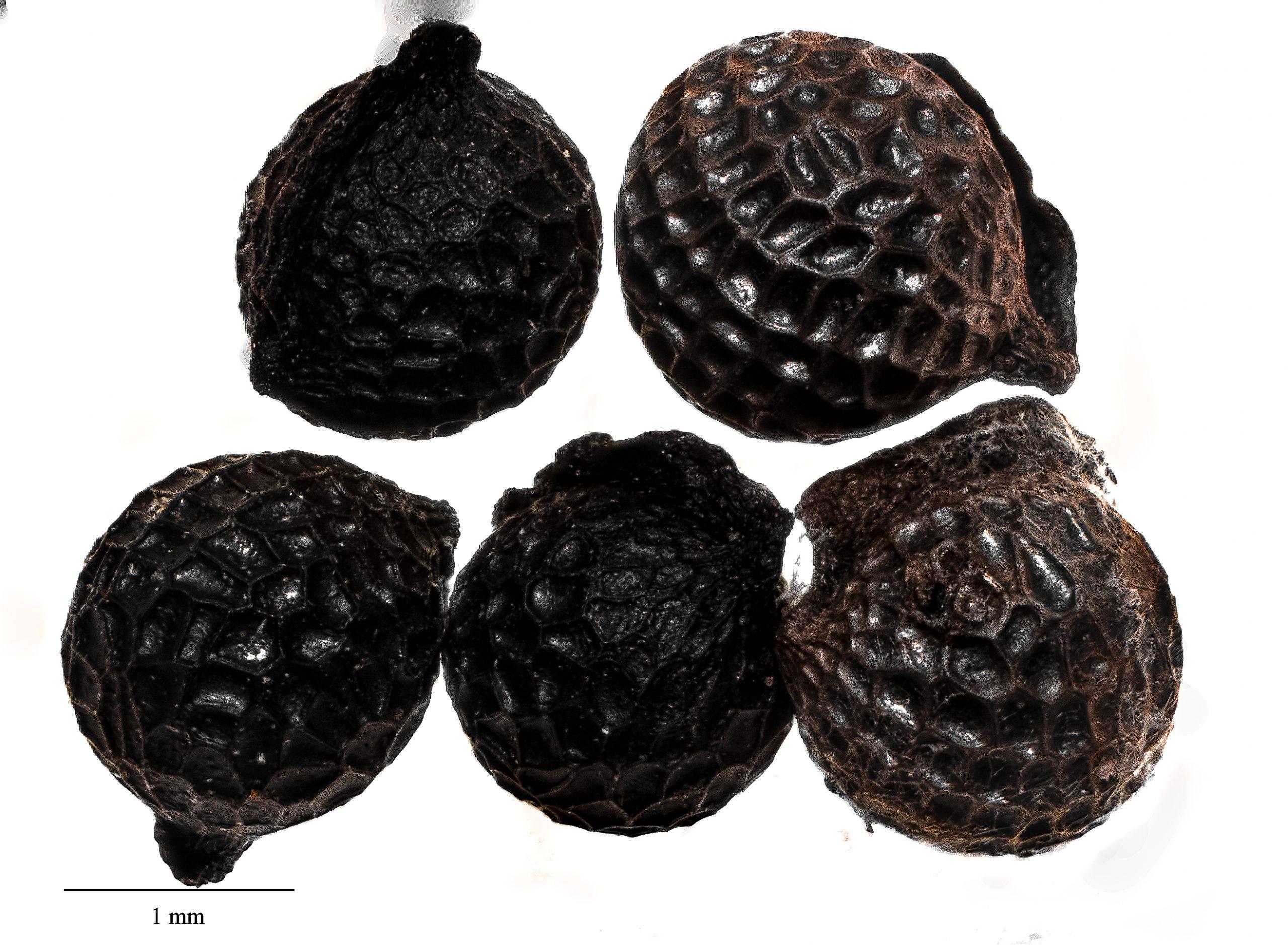 Photo of the round seed of Hawaiian prickly poppy