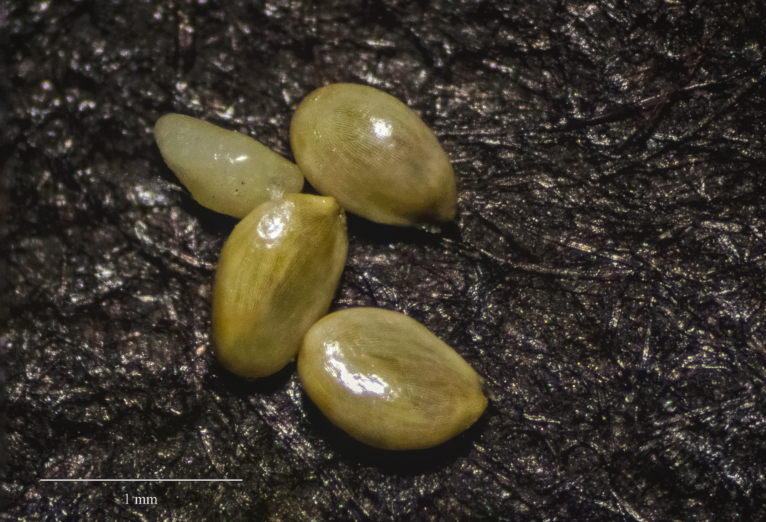 Yellow striated seeds of the endangered haha shrub.