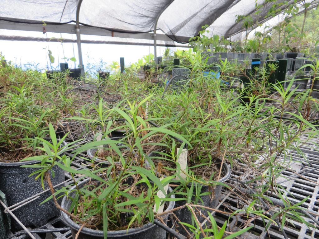 Several pots of sprawling Na'ena'e plants on nursery benches.